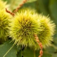 Дивият кестен – лек от природата