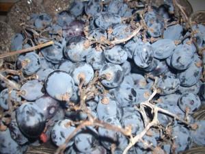 Лечението с грозде или гроздов сок, известно като ампелотерапия, се разпространява през XIX век, но още древните ни предци са използвали този прекрасен плод за храна, лекарство, а под формата на вино и като средство за отпускане и забавление.