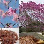 Пау Д`арко – Дървото на живота