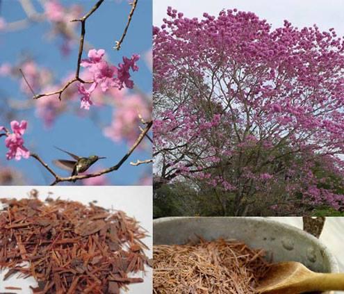 Photo of Пау Д`арко – Дървото на живота