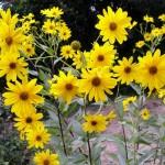 Гулията е обявена за растение на Европа през 2012-а