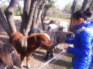 Понитата на Хиподрума в Русе са дружелюбни и харесват децата
