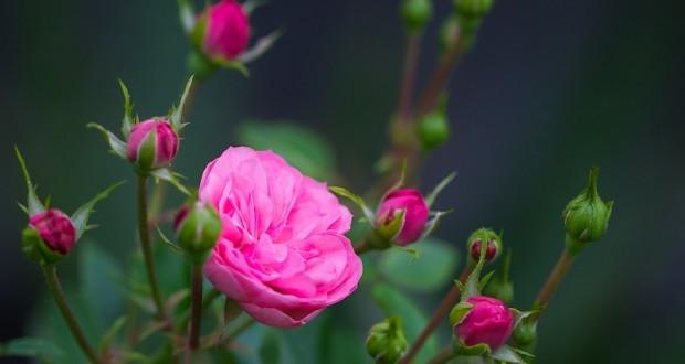 """Царицата на цветята – """"Нейно величество""""  розата"""