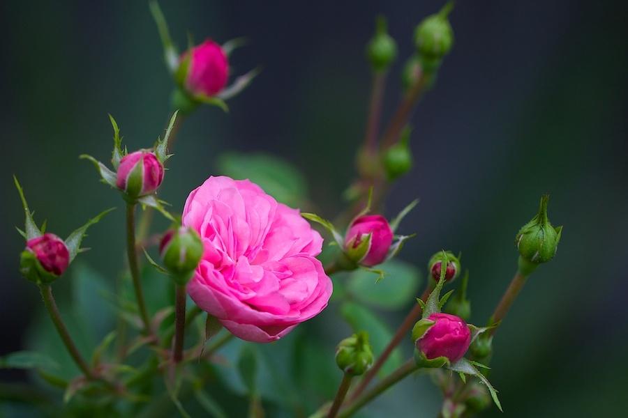 """Photo of Царицата на цветята – """"Нейно величество""""  розата"""