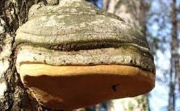 Брезовата гъба чага детоксикира черния дроб