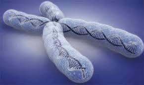 Когато клетките се делят, теломерите стават все по-къси.