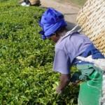 На 15 декември празнуваме Международния ден на чая