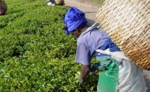 Основната цел на производителките е да се привлече вниманието на обществото към проблемите, свързани с производството и търговията на чай.