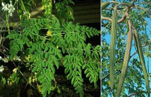 Растението вирее в Африка и подножието на Хималаите