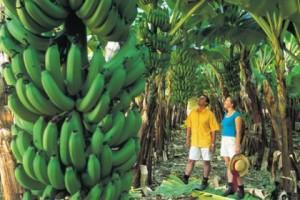 Хубаво е бананите да се берат добре узрели
