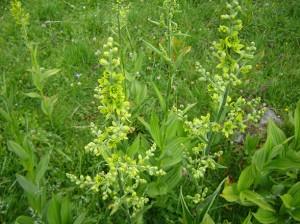 Чемериката е многогодишно тревисто растение с право стебло и с месесто 5-8 см коренище с многобройни корени, които наподобяват шнур.