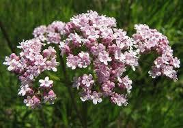 Дилянката - Цветовете са дребни, събрани в многоцветни съцветия.