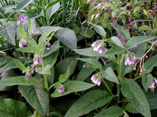 Photo of Черният оман едно полезно лечебно растение