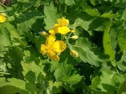 Змийско мляко - билката е многогодишно тревисто растение с оранжев млечен сок.
