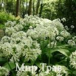 Левурда – предвестник на пролетта и лек