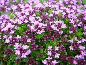 Мащерката е силно здравословна билка с редица лечебни свойства.