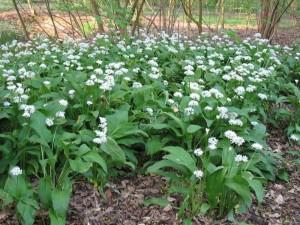 Левурда или още е позната тази билка с имената Мечи лук, див лук, магьоснически лук, горски чесън или цигански лук.