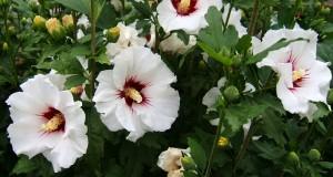Бялата ружа – лекарство и храна