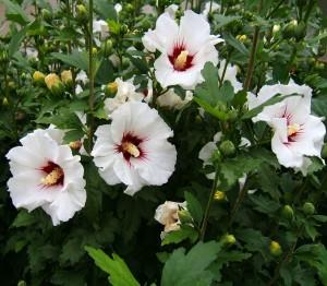 Листата на бялата ружа са с по-различен химичен състав от корена.