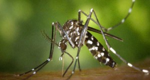 Тигров комар жили вече и на Балканите