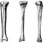 Белгийски учени с нова техника отглеждат  кости