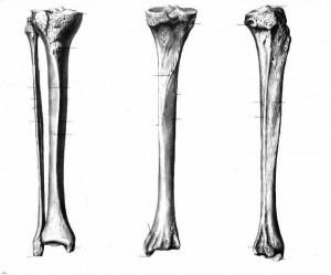 Белгийски учени с нова техника отглеждат  кости.