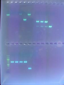 Така изглеждат крайните резултати от ДНК тестовете, отчетени на UV светлина