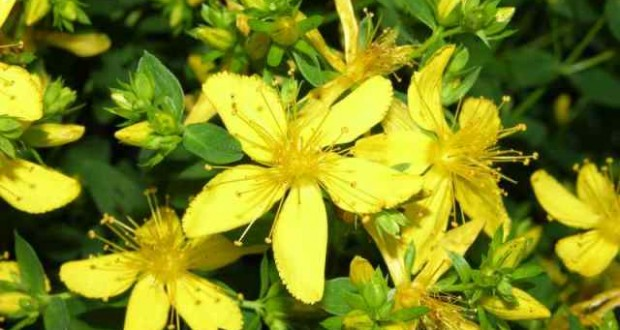 Жълт кантарион – билката с магически свойства