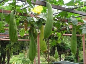 Гъбата луфа е ядлив тропически и субтропически зеленчук, популярен най-вече в Азия и Африка.