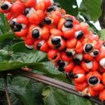 Гуарана –  повишава либидото и намалява излишните килограми