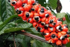 Доказано е, че в гуарана има 3-4% кофеин, а в кафеените само 1 до 2 процента.