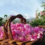 Българското розово масло вече е защитен продукт