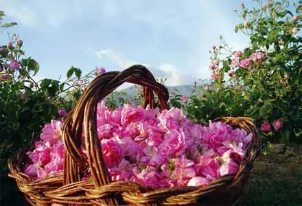 Photo of Българското розово масло вече е защитен продукт