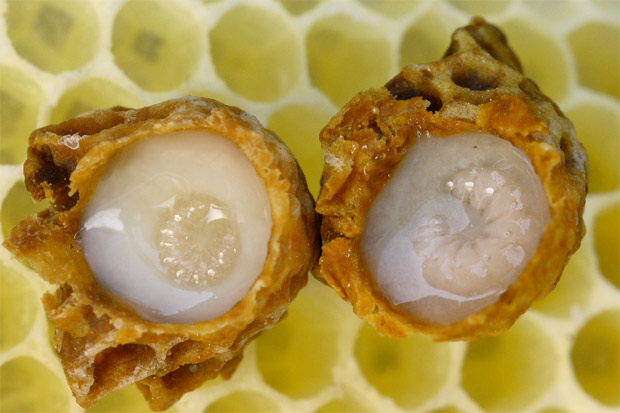 """Photo of Пчелно млечице – """"суперхраната"""" на пчелата-майка"""