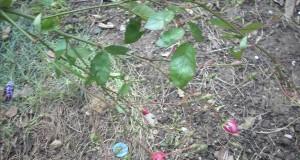Розов храст цъфна в Русе през януари