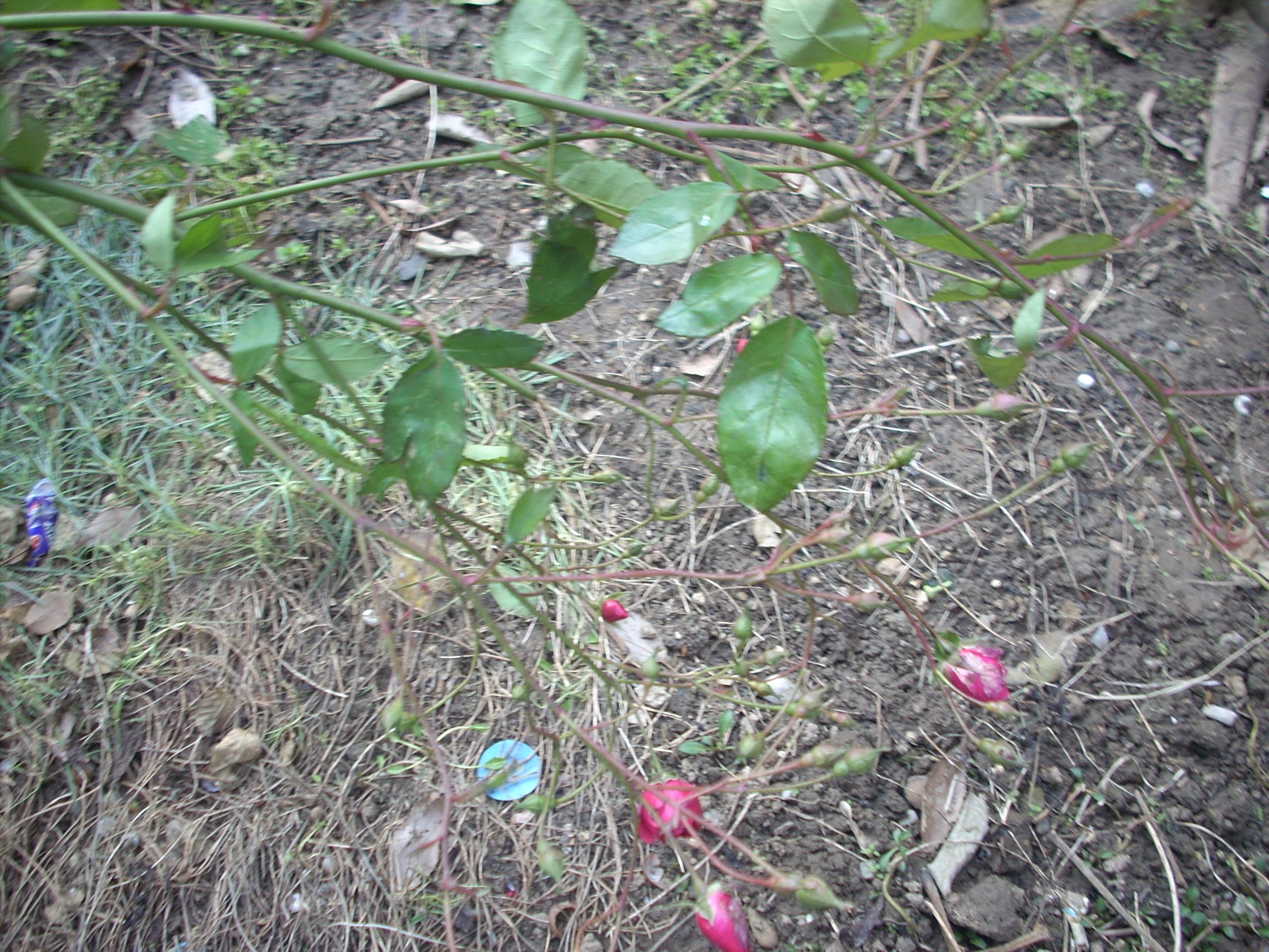 Photo of Розов храст цъфна в Русе през януари