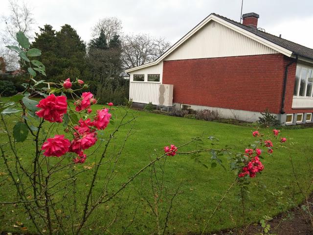 Розов храст цъфна през януари в Русе.