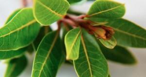 Дафинови листа понижават кръвната захар, помагат при синузит