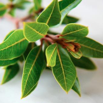 Photo of Дафинови листа понижават кръвната захар, помагат при синузит