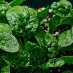 Спанак – страхотен срещу деменция