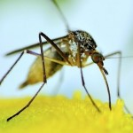Комарите са преносители на над 50 вирусни и бактериални инфекции