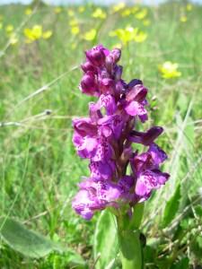 Около 50 вида диви орхидеи цъфтят край Смилян през различните месеци