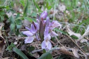 Диви орхидеи се срещат в Родопите