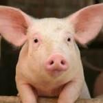 Хранят прасета здравословно – с маслини и моркови
