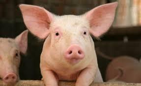 Photo of Хранят прасета здравословно – с маслини и моркови