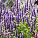 Лофант – билката, която подмладява и повишава концентрацията