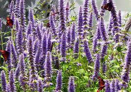 Лофант - лечебно растение.