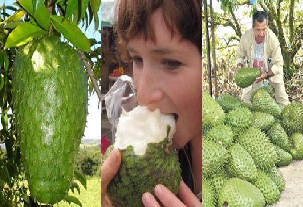 Photo of Гуанабана – плод с много имена, но доказани лечебни свойства