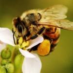 Пчелна отрова – лек за ставни, нервни и сърдечни заболявания