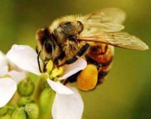Пчелната отрова се секретира от две жлези, разположени в жилоносен апарат в края на комчето на пчелите.